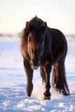 Black horse. Trakehner black stallion walk in snow field Royalty Free Stock Photography