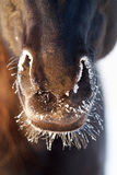 Black horse. Nose with snow Royalty Free Stock Photography