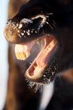 Black horse. Frozen Black horse big mouth Stock Image