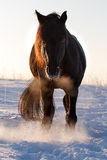 Black horse Stock Photography