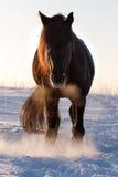 Black horse. Trakehner black stallion in snow field Stock Photography