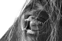 Black horse. Trakehner black stallion big eye Royalty Free Stock Photo