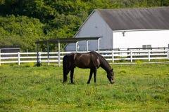 Black horse. On the farm Royalty Free Stock Photo