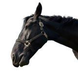 Black horse. Isolated on white Stock Photo