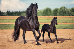 Free Black Horse And Foal Running Royalty Free Stock Photos - 63325918
