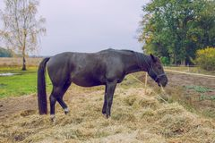 Black horse at autumn, eating grass. Travel photo 2018. royalty free stock image