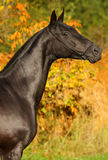 Black horse autumn portrait Stock Images