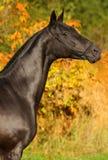 Black horse autumn portrait stock images