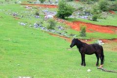 Black horse Stock Image
