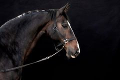 Black horse. Beautiful horse resting in front of a black background Royalty Free Stock Photos