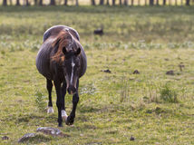 Black horse. A beautiful black horse walking Stock Images