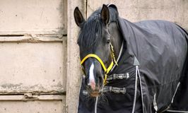 Black horse in a blanket on a background of gray concrete walls stock image