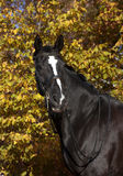 Black horse with blaze Royalty Free Stock Photo