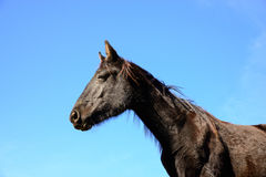 Black horse on a blue sky. Close up black horse on a blue sky Royalty Free Stock Photography
