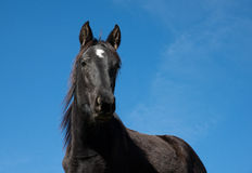 Black horse on a blue sky. Close up black horse on a blue sky Royalty Free Stock Image