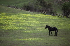 Black horse browsing on a meadow Stock Photography