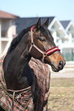 Black horse with checkered coat portrait. Black horse wit checkered coat in the paddock Royalty Free Stock Photography