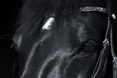 Black horse close up with beautiful rhinestone browband Royalty Free Stock Images