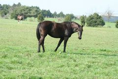Black horse in countryside. Black horse standing in field in countryside stock images