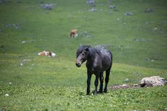 Black Horse and Cows Pasturing in Grazing Lands: Italian Green M Stock Photo