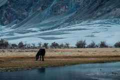 A black horse eating grass in outdoor park near by small stream with white desert and mountains background. In Nubra valley , India Stock Photos
