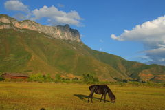 Black horse eating grass on the pasture, with the beautiful Gemu holy mountain in the background.  Royalty Free Stock Images