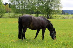Black Horse Eating Grass on Summer Meadow Stock Photography