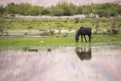 Black horse eating grass Royalty Free Stock Images