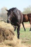 Black horse eating hay. Black horse eating dry hay Stock Photo