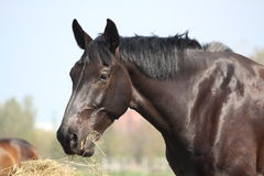 Black horse eating hay Stock Image