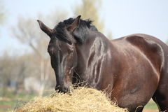 Black horse eating hay Royalty Free Stock Photos