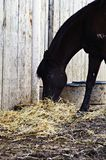 Black horse eating hay Royalty Free Stock Image