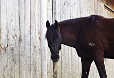 Black horse eating hay Royalty Free Stock Photo