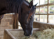 Black horse eating hay Stock Photo