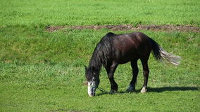 Black Horse Eats In Spring Pasture. Horse Eating Grass In Summer Meadow stock video footage