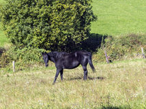 Black horse enjoys grazing on the  green meadow Royalty Free Stock Images