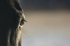 Black horse eye Stock Image