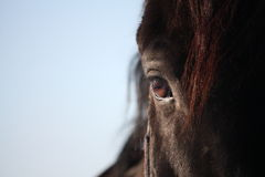 Black horse eye close up Stock Images
