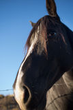 Black horse face closeup Stock Image