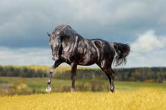 Black horse in the field Stock Photos