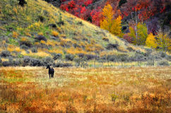 Black Horse in Field Meadow in Fall Stock Photos