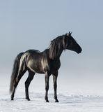 Black horse in the field in the winter. Royalty Free Stock Image