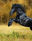 The black horse of the Friesian breed play in the gold autumn wo. The black stallion of the Friesian breed play in the gold autumn wood Royalty Free Stock Photo