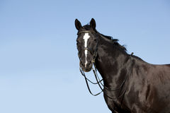 Black horse in front of blue sky Royalty Free Stock Photography