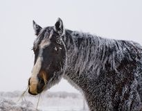 Black horse with frost Royalty Free Stock Photo