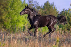 Black horse gallop Royalty Free Stock Image