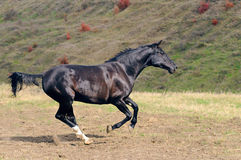 Black horse galloping in field Stock Photo