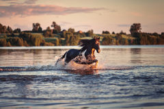 Black horse galloping in water at sunset Royalty Free Stock Images