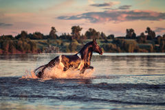 Black horse galloping in water at sunset Stock Photo