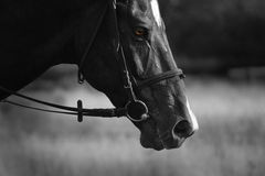 Black Horse. Gloomy mysterious black horse with yellow eyes Stock Photos